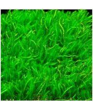PLANTA DE ACUARIO: musgo de java porcion de 7 x 7 cm
