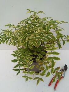 Polemonium 'Stairway to Heaven' - good sized plant 2L pot