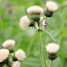 Cirsium Frosted Magic White Plume Thistle 9cm Pollinator attracts butterflies