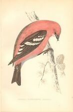 1865 ca - ANTIQUE ORNITHOLOGICAL PRINT- AMERICAN WHITE WINGED CROSSBILL