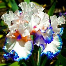 Iris Bulbs 2 Perennial Resistant Bearded Reblooming Flower Bonsai Pot Rare Plant