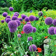 Giant Allium Garden Flower Plant 20 Seeds Perennial Purple Flower Seed Bulbs