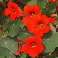 1/4 Lb Empress of India Nasturtium Wildflower Seeds - Everwilde Farms Mylar