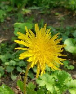 Common Dandelion Taraxacum officinale  (25 seeds) North American