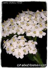 Achillea millefolium 'Yarrow' [Ex. Shropshire] 1000+ SEEDS