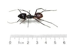 HUGE GIANT BULLET ANT CAMPONOTUS GIGAS MOUNTED PINNED