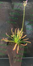 2x Drosera Capensis. Plantas vivas. No semillas.