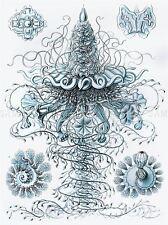 NATURE ART JELLYFISH ERNST HAECKEL GERMANY BIOLOGY POSTER 879PYLV