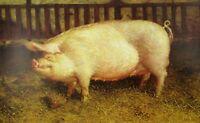 Vintage Art James Wyeth 1970 Portrait of Pig Sow Hog Pigpen Farm Charlotte White