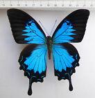 Papilio ulysses ssp.ulysses M,ex Ceram, very very rare aberation, Indonesien,n64