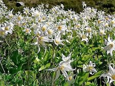 10 WHITE AVALANCHE LILY Erythronium Montanum Native Alpine Flower Seeds *CombS/H