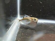5 Silver Hatchet Fish - Live Fish