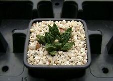 Ariocarpus fissuratus v.hintonii Pp 352 ! Own Roots ! Rare Cactus 01207