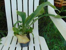 "Platycerium bifurcatum 4"" pot Species Staghorn Fern"