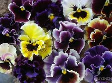 Viola Pansy Flower Seed 30 Seeds Wavy Tricolor Patio Garden Plants balcony yard