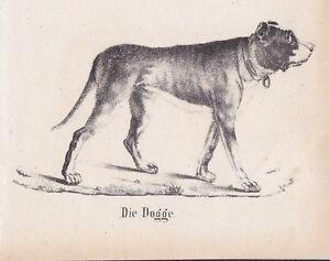 Dogge Hunde Hunderassen LITHOGRAPHIE von 1831 Brüggemann Schinz