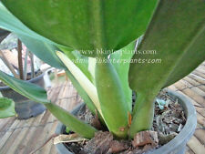"Very New Philodendron ""Fat Branch"" Very Lovely Plant +Free Phyto Don't miss@@"