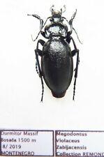 Carabus megodontus violaceus zabljakensis (male A1) from MONTENEGRO