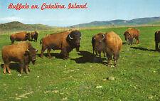 postcard USA  Wild buffalo herds  Catalina Island Califoria unposted