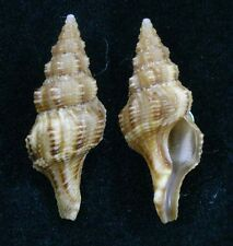 Formosa/shells/Fusolatirus balicasagensis 22mm.Rare