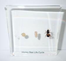 Honey Bee Life Cycle Simplified Set Education Specimen Slide