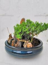Bonsai Juniper Live Tree Zen Pant Garden With Pool Fishman Best Gift