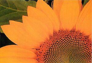 "Olympus Fitness & Aerobics Sunflower Close Up Advertisement Postcard 6x4"""