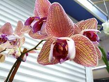 Orchid, Phalaneopsis, ' Baldans Kaleidoscope ', South Florida Grown