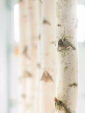 Weiße Birkenstämme von Birkendoc 3m | Deko | Raumteiler & vieles mehr - 3 Stück