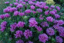 *SALE 4 MONARDA  BEEBALM 'Petite Delight' Butterfly, Hummingbirds Lavender Bloom