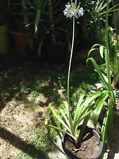 AGAPANTHUS PLANTS - Large Mature plants