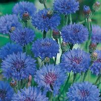 CORNFLOWER - Double Blue - 50 seeds