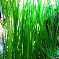 New listing 7 Vallisneria Jungle Val plants Fresh Live Aquarium Plants