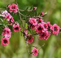 i! SÜDSEE-MYRTE !i Wintergarten Kübelpflanze Balkon Terrasse Exot Saatgut Blume