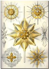 "ERNST HAECKEL CANVAS PRINT Art Nouveau Nature Sea Life 32""X 24"" Acanthometra"