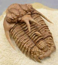 Hoplolichoides Furcifer Russian Trilobite Rare Spiny Very Big Size with Hypostom
