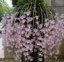 200 pcs Dendrobium seeds, potted seed, flower seed, variety complete