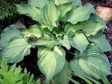 hosta Guardian Angel (G) 2 yr plant