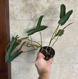 "Philodendron Atabapoense ""Rare Aroid"""