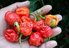 Carolina Reaper + Brazilian Ghost Cross Chilli Pepper - 5 Australian Grown Seed!