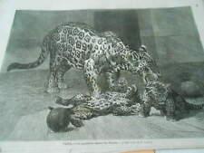 Gravure 1873 - Les Jaguars du jardin des plantes à Paris