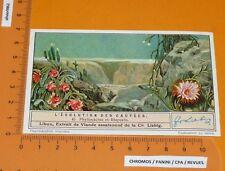 CHROMO LIEBIG 1935 S 1309 CACTUS EVOLUTION CACTEES N°4 PHYLLOCACTUS RHIPSALIS