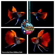 New listing 1 Pair - Premium Grade Live Guppy Fish Tuxedo Koi short Ribbon