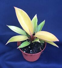 "PHILODENDRON PRINCE OF ORANGE,  BEAUTIFUL LIVE HOUSE PLANT SHIPPED IN 3""  POT"