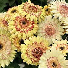 Gerbera Daisy Seeds - STRAWBERRY TWIST - Excellent for Arrangements -50 Seeds