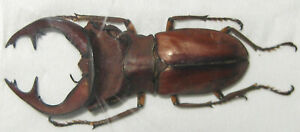 Lucanidae Cyclommatus weinreichi Male A1 43mm (WEST PAPUA)