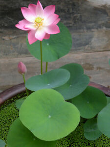 Lotus Flower 9 Seeds, Nelumbo nucifera, Beautiful Aquatic Plants