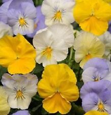 15 Seeds Pansy Cool Wave Pastel Mix  (HANGING PANSY) Coolwave Pansy