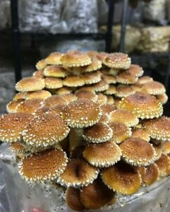 100+Organic Chestnut Gourmet mushroom Plugs for log inoculation USA