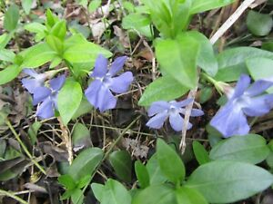 15+ Creeping Myrtle Periwinkle Vinca Minor Vines Flowering Plants Ground Cover